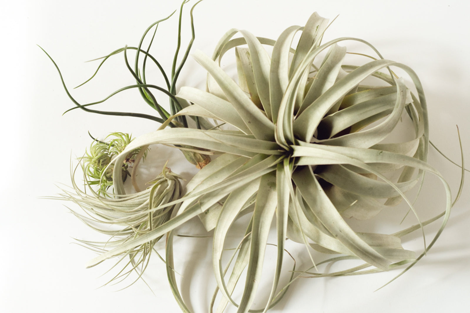 Élan Flowers air plants large