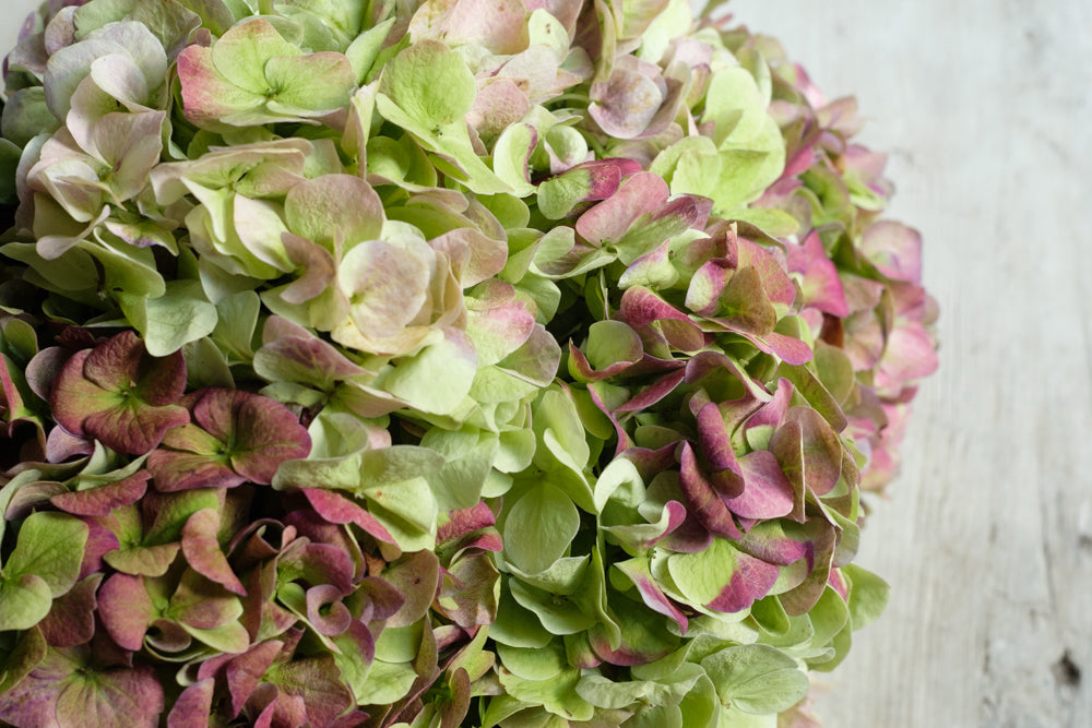 Delivery in New York City-  antique hydrangea
