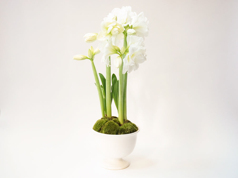 Amaryllis - Élan Flowers - local delivery new york city