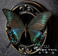 Classic Papilio Maackii Butterfly Shadow Box