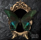 Papilio Maackii Butterfly Shadow Box
