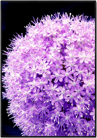 Plakat - Allium Flower