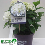 Hortensie `Forever and Ever® Hydrangea Forever and Ever® - Pflanzenshop-Emsland