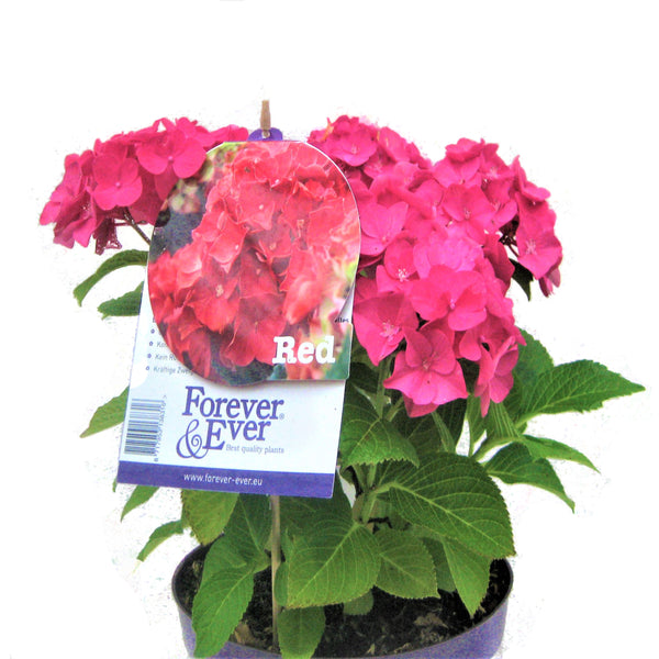 Hortensie `Forever and Ever® <br> Hydrangea Forever and Ever® - Pflanzenshop-Emsland