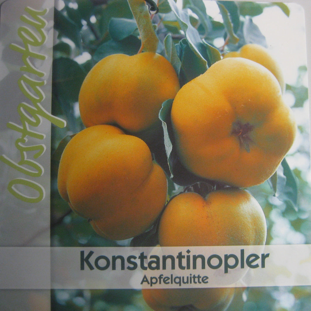 Quitte 'Konstantinopeler Apfelquitte' <br> Cydonia 'Konstantinopeler Apfelquitte' - Pflanzenshop-Emsland