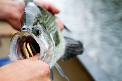 Crappie Fishing on the Fly