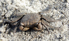 South Carolina Marsh Crab