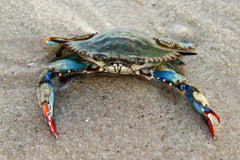 South Carolina Blue Crab