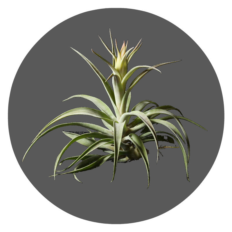 "Extra Large Harrissii Air Plant,  14""- 18"""