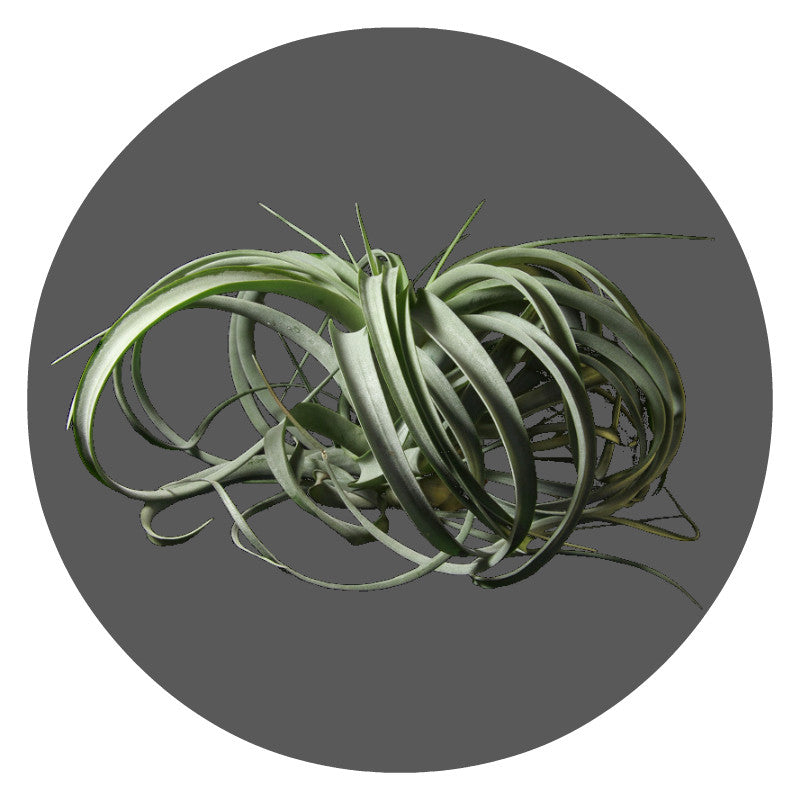 "Extra Large Xerographica Air Plant,  10""- 12"""