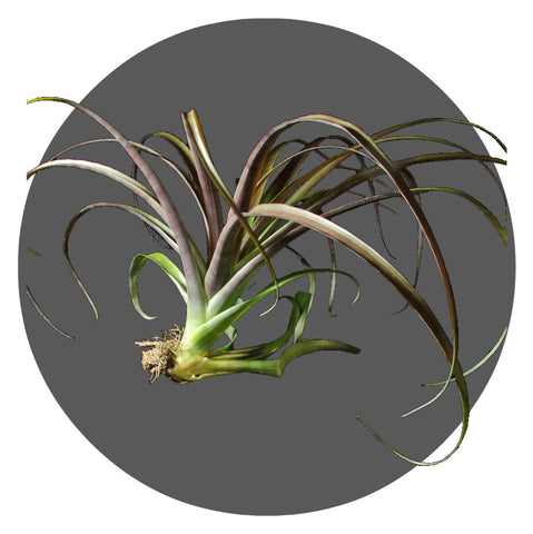"Extra Large Flabulata Air Plant,  14""- 18"""