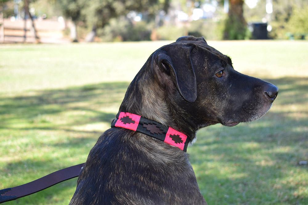 Dog with Antilles Leather Dog Collar
