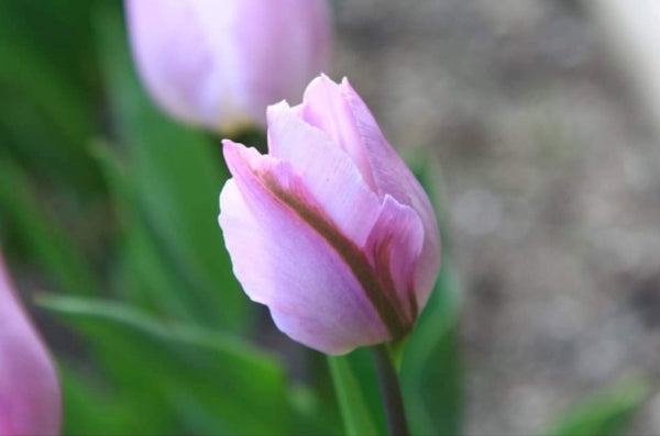 Tulip by Wolf Branch Photography- 30 by 40 CM