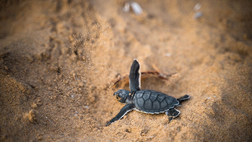 a baby turtle crawling on the sand towards the ocean