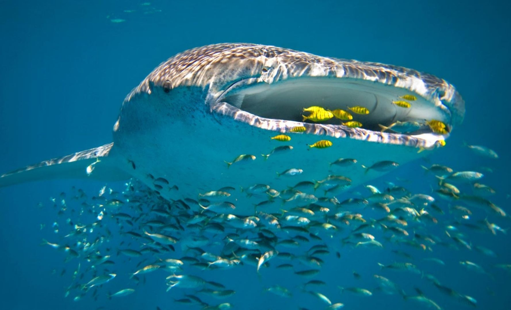 A whale shark underwater with fish around its mouth