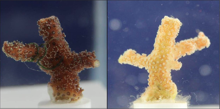 Effect of Oxybenzone and Octinoxate on coral polyps