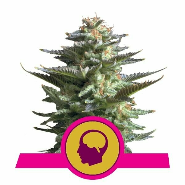 AMNESIA HAZE- ROYAL QUEEN SEEDS