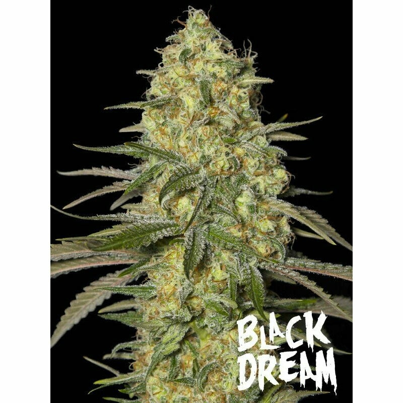 BLACK DREAM- EVA SEEDS