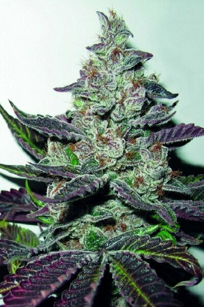 MENDOCINO PURPLE KUSH-MEDICAL SEEDS