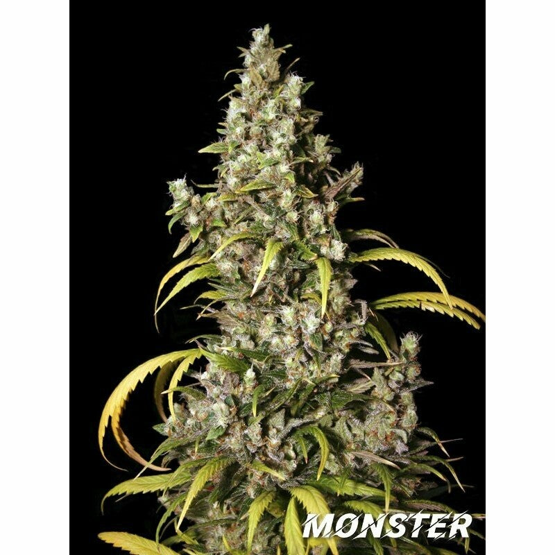 MONSTER- EVA SEEDS
