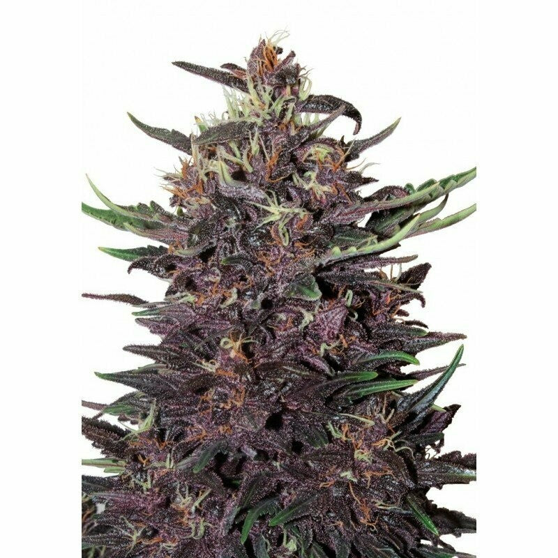 PURPLE KUSH AUTO- BUDDHA SEEDS