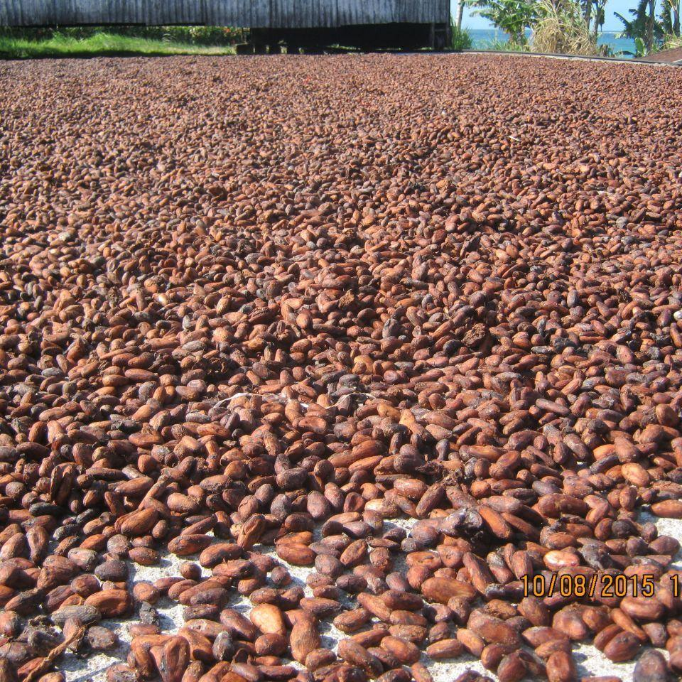 Unroasted Cocoa Beans - Amy Sargeantson