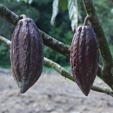Cacao pods growing from trees