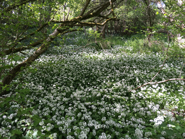 How to forage for wild garlic!