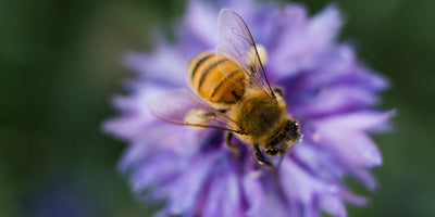How to make your garden more bee-friendly