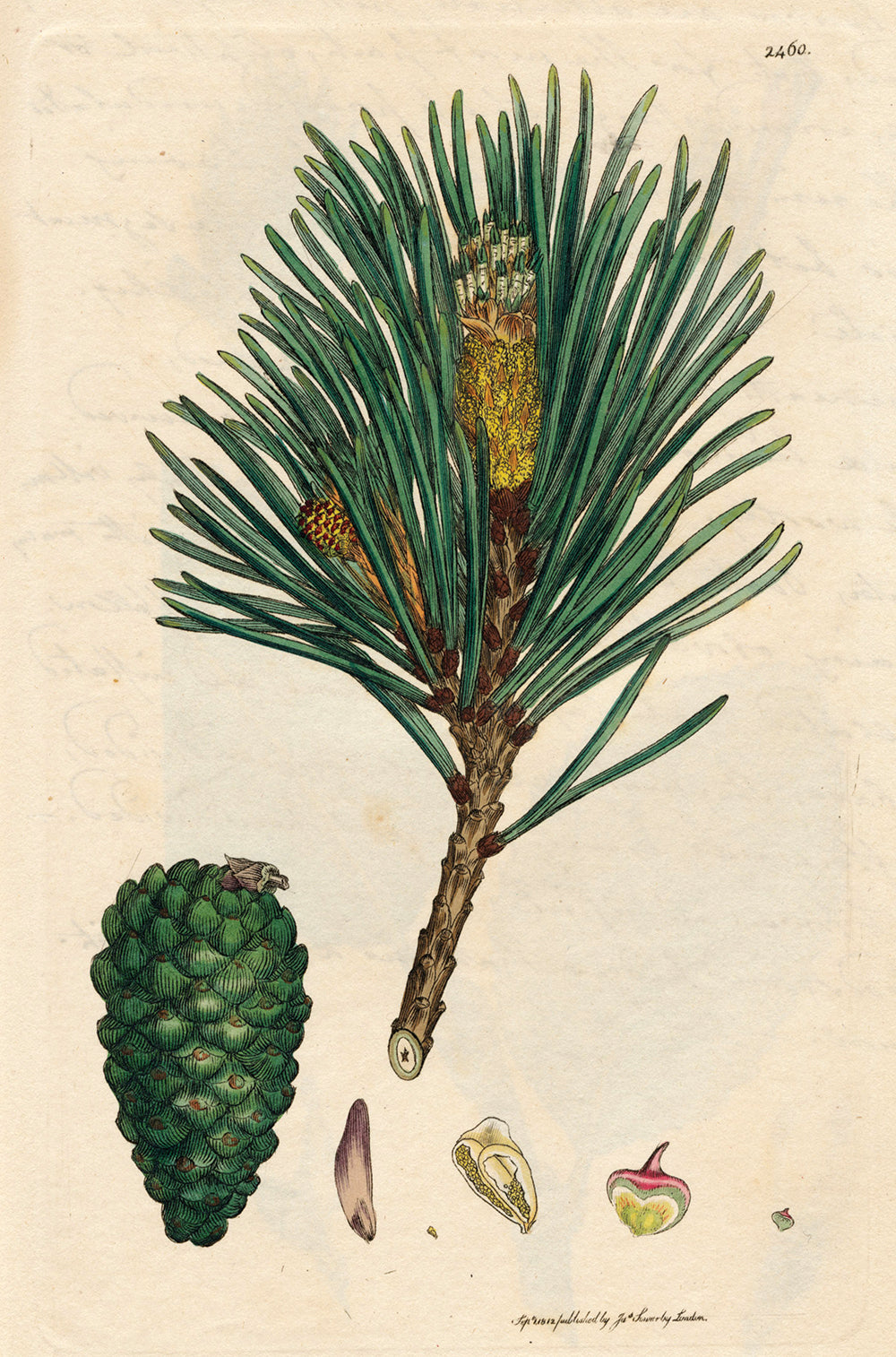 Scots Pine - Botanical Print Greetings Card 1812
