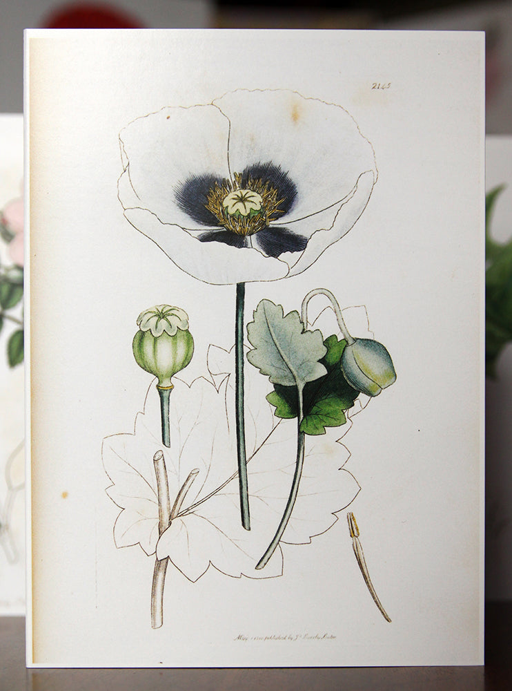 Opium Poppy - Botanical Print Greetings Card 1810
