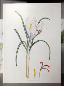 Saffron Crocus - Botanical Print Greetings Card 1793