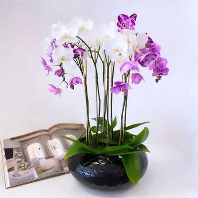 Lux Eight Stem Orchid