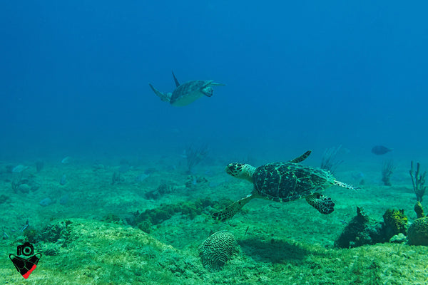 Hawksbill and Green Turtle