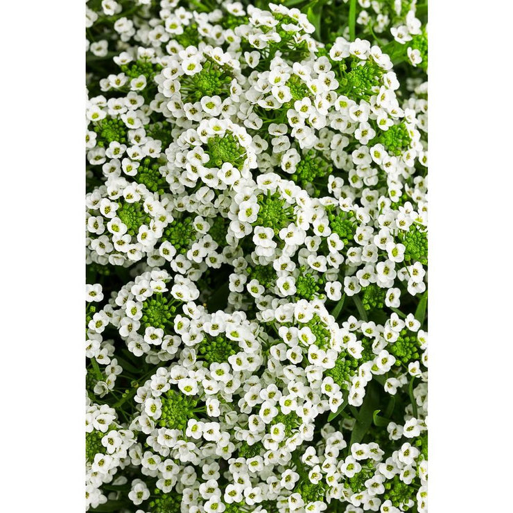 "Alyssum Snow Princess - 4.5"" Pot"