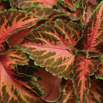 "Coleus Coral Sunrise - 4"" Pot"