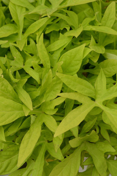 "Ipomoea Sweet Potato Vine 'Spotlight Green' - 4.5"" Pot"