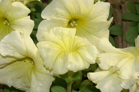 Petunia Yellow Madness - Flat of 18