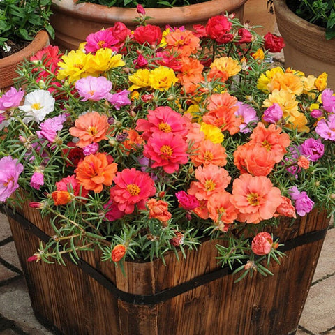 Portulaca Mix - 6-Pack