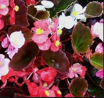 Begonia Cocktail Bronze Leaf Mix - Flat of 18