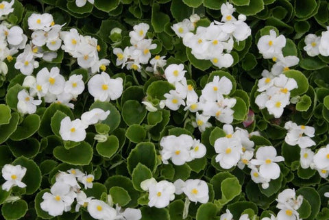 Begonia - Green Leaf White - Flat of 18
