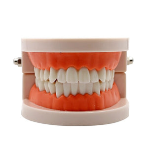 Adult Teeth Teaching Model