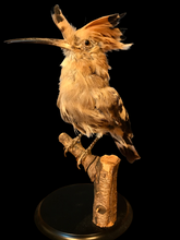 Load image into Gallery viewer, Hoopoe Bird Taxidermy