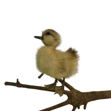 Load image into Gallery viewer, Taxidermy Duckling - Unmounted