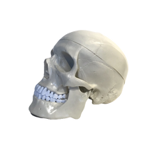 Load image into Gallery viewer, Anatomical Human Skull Model
