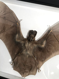 Javan Slit-faced Bat - Framed