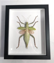 Load image into Gallery viewer, Female Malayan Jungle Nymph - Framed