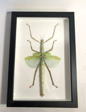 Load image into Gallery viewer, Emerald Walking Stick Insect - Framed