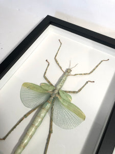 Emerald Walking Stick Insect - Framed