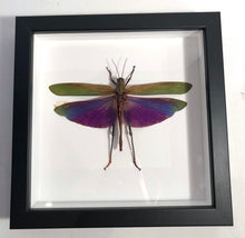 Load image into Gallery viewer, Passion Locust - Framed
